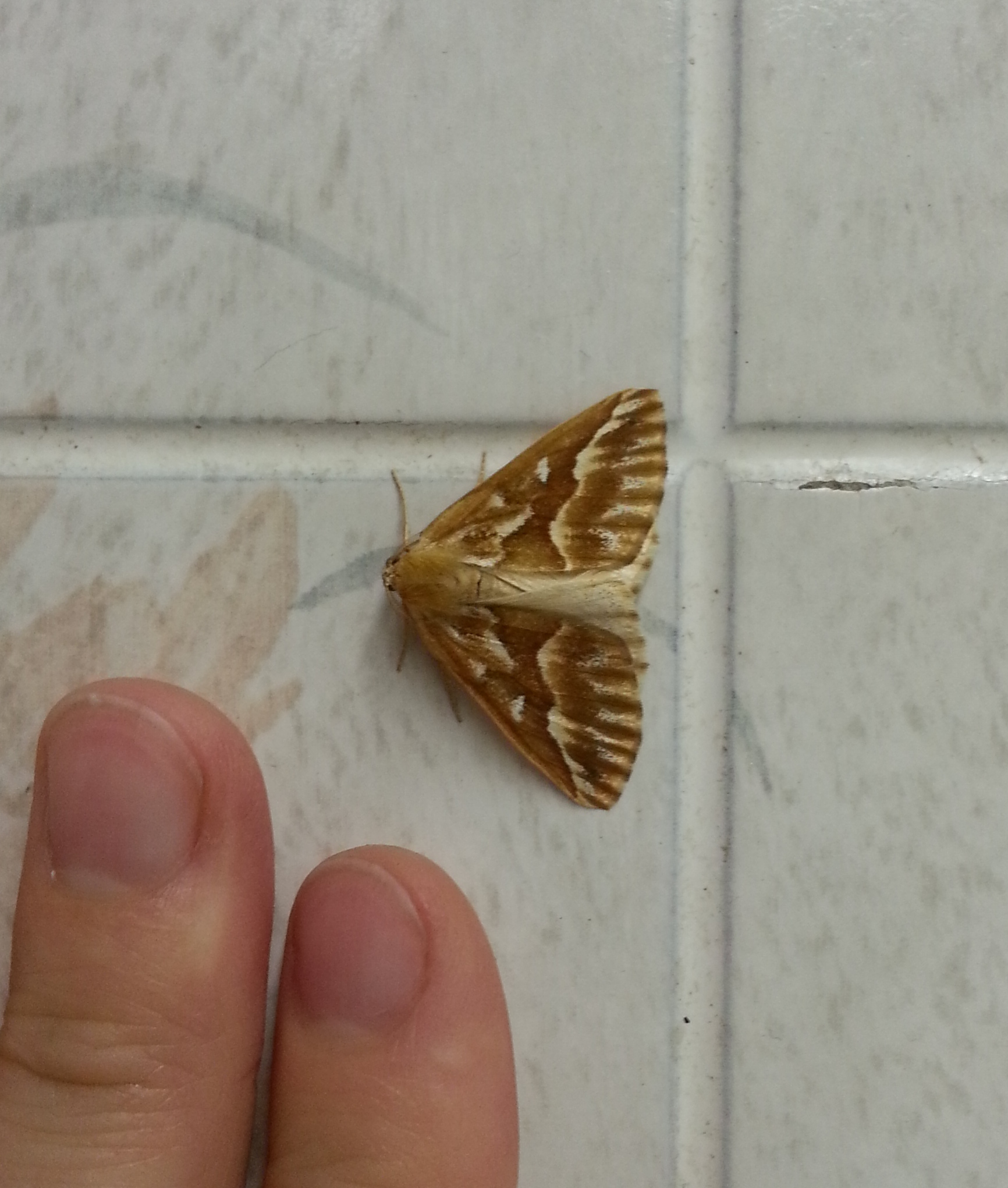 Northern Pine Looper moth, with fingers for size reference