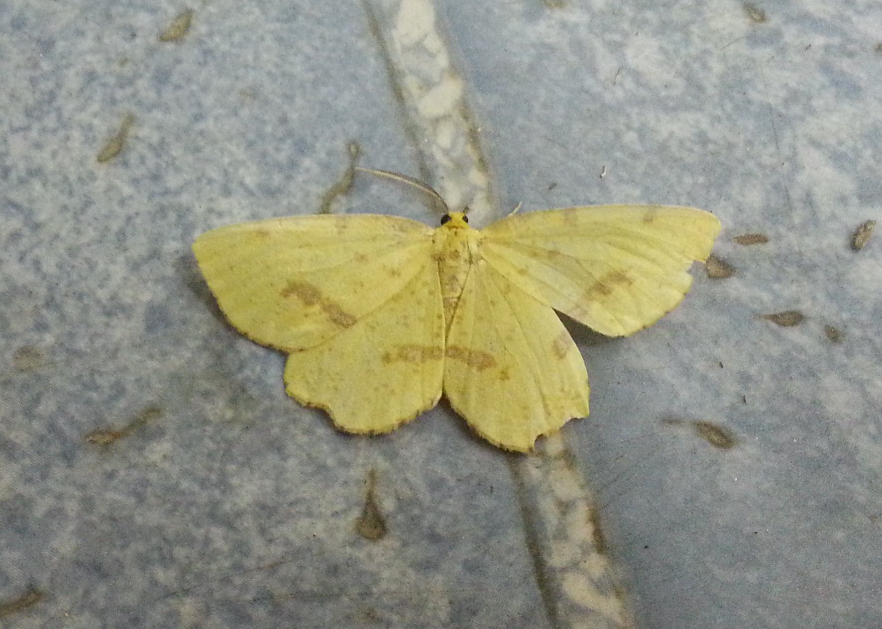Crocus Geometer, on tile