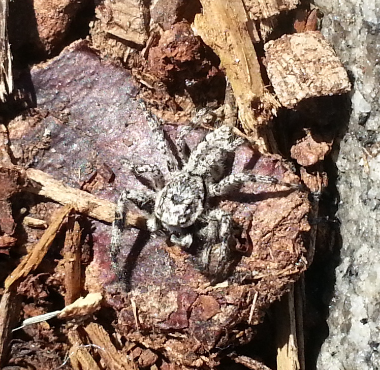 Spider, on wood chips