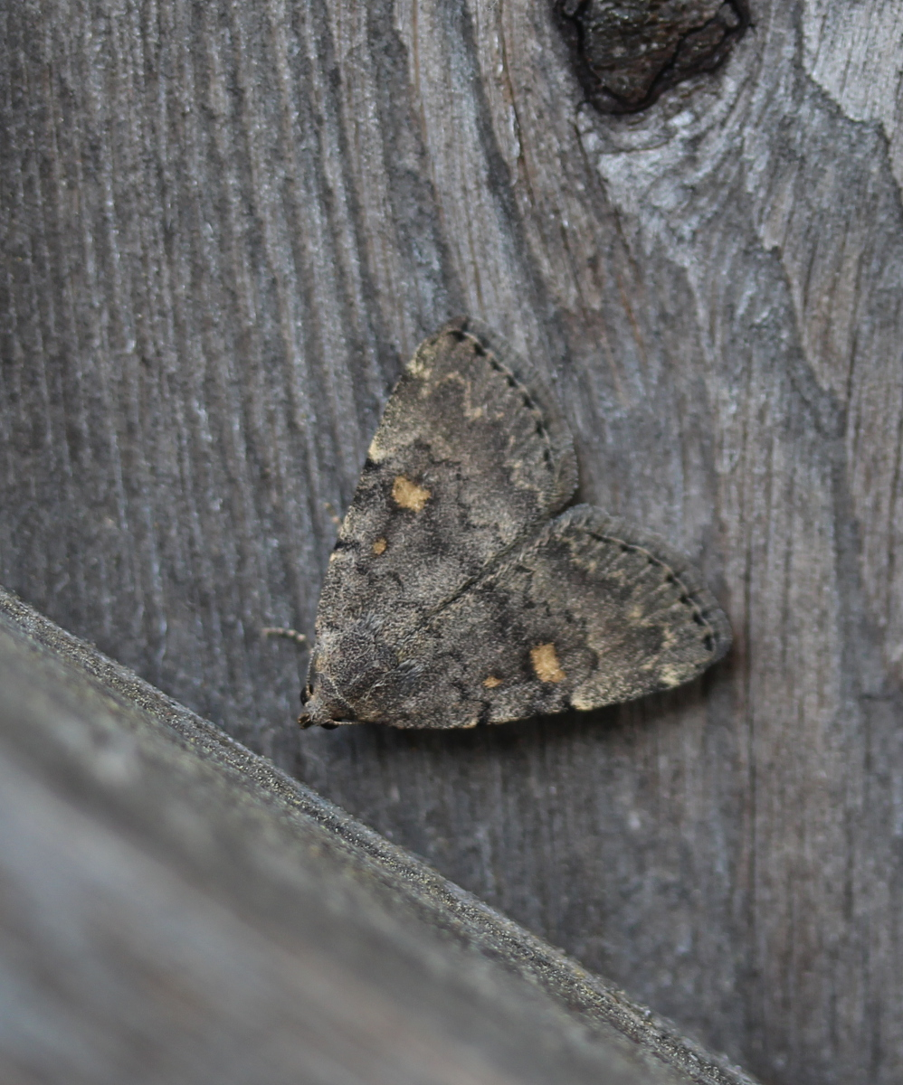 triangular drab litter moth on wood fencing