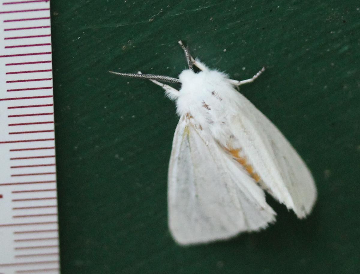 Virginian Tiger Moth