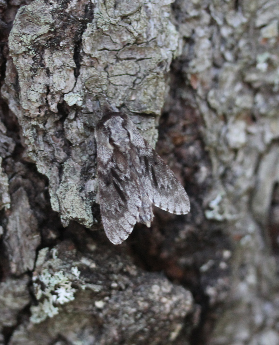 Northern Pine Sphinx - on bark