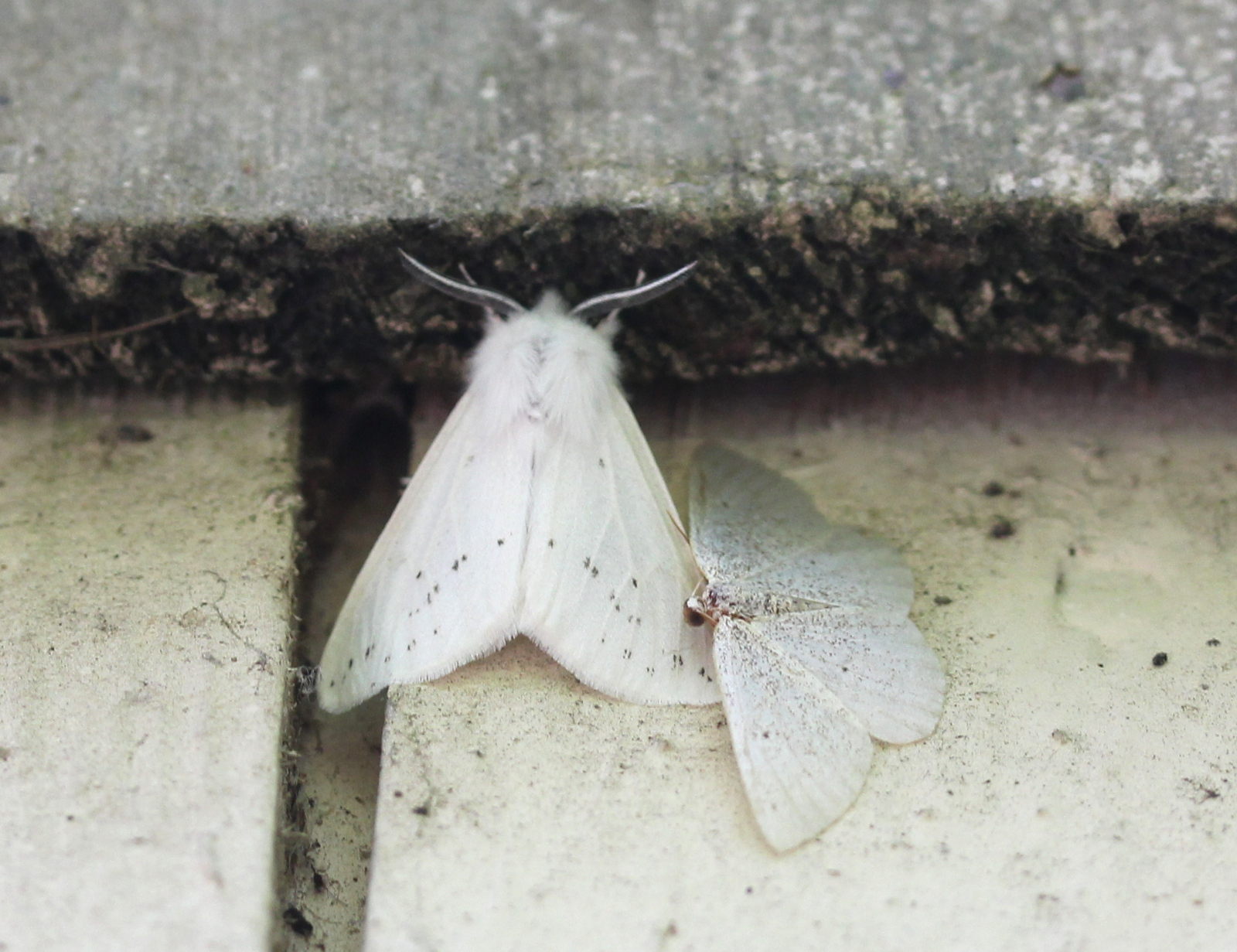 Agreeable Tiger Moth - dorsal view on wall