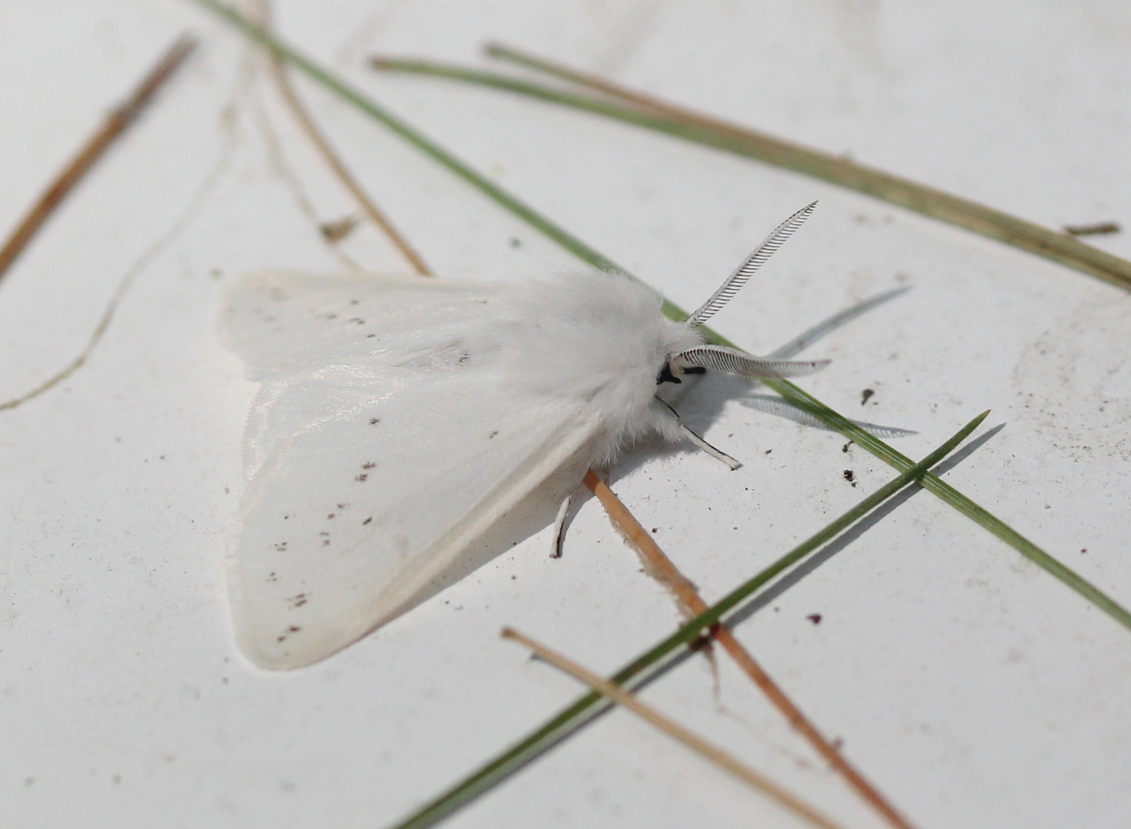 Agreeable Tiger Moth - dorsal view