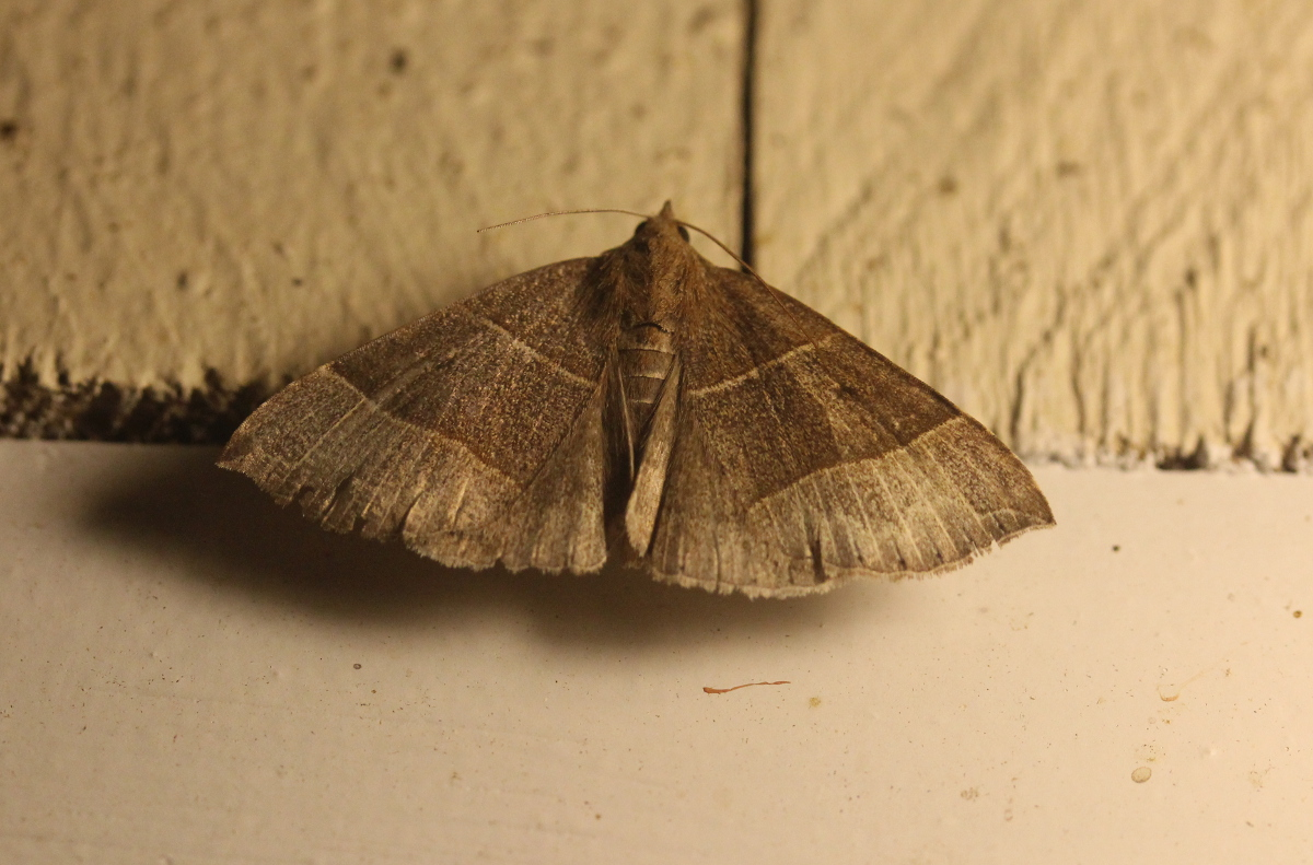 Maple Looper (Parallelia bistriaris)