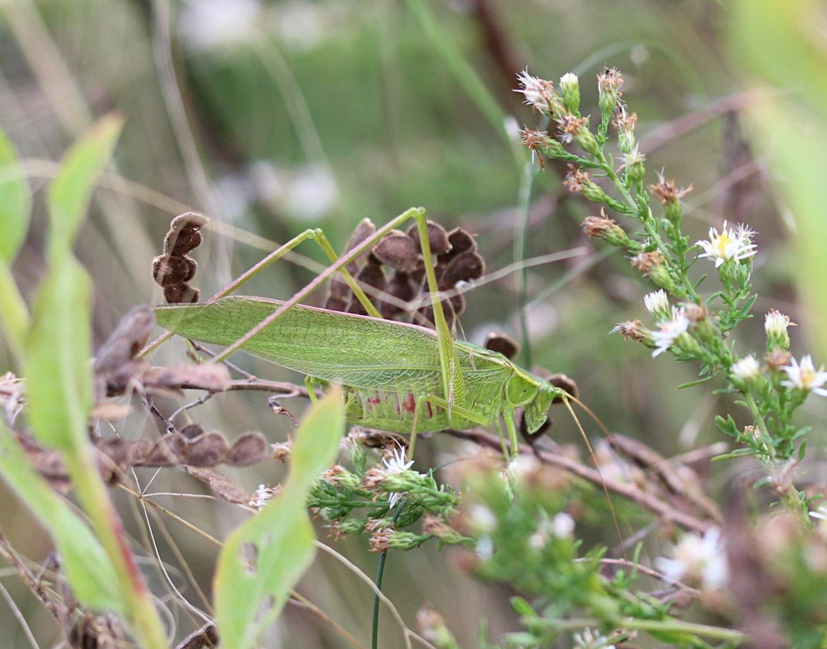 Katydid (Scudderia sp.)