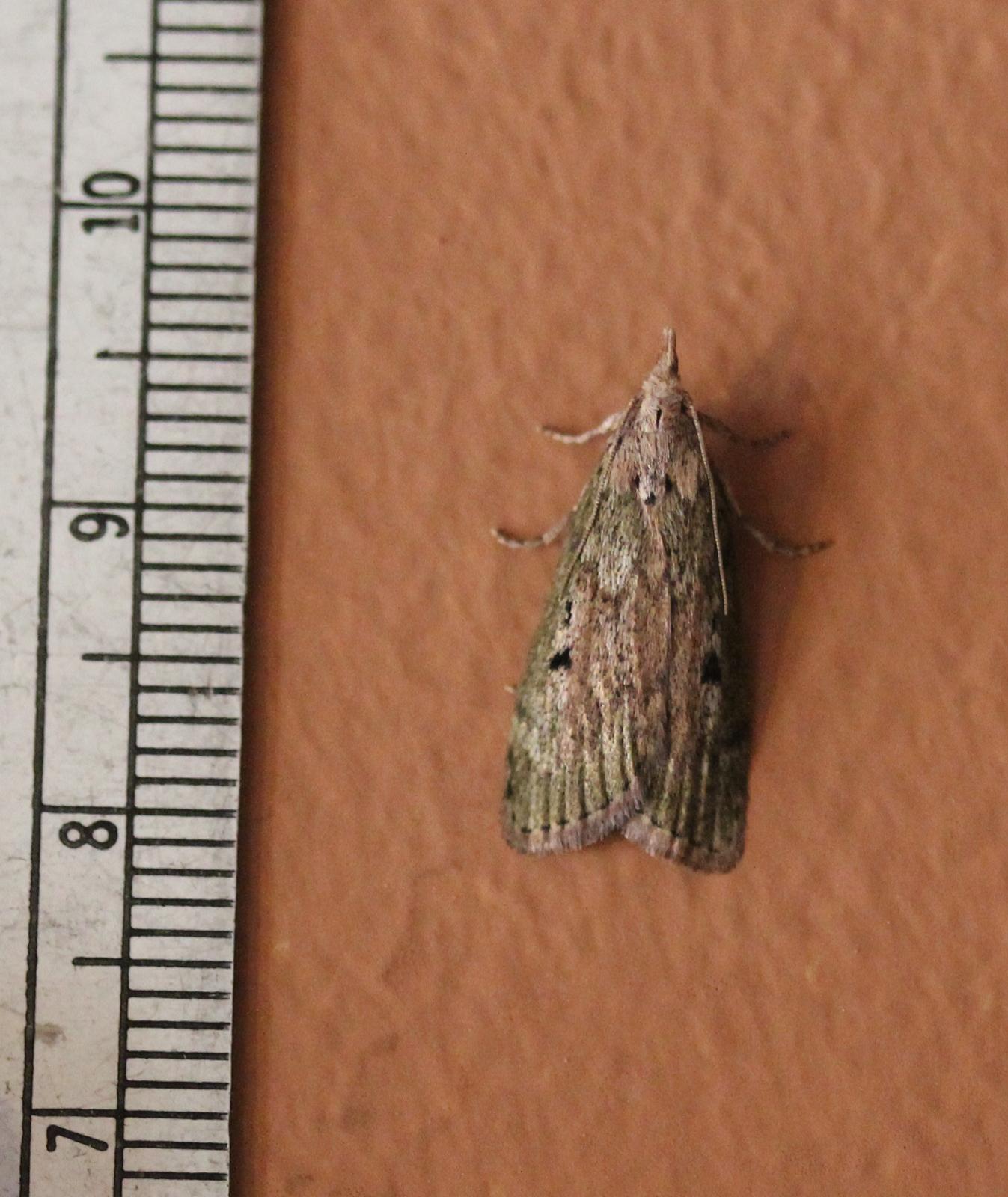 Bee Moth (Aphomia sociella)