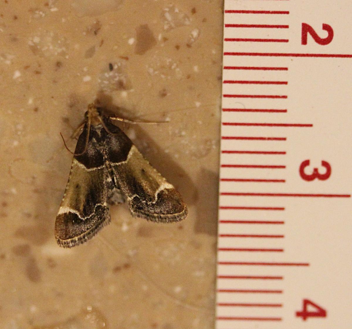 Meal Moth (Pyralis farinalis) on countertop