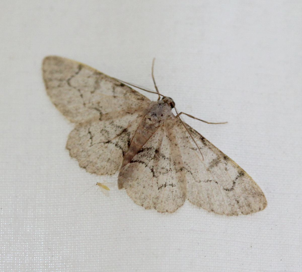 Pale grey moth on white sheet backdrop