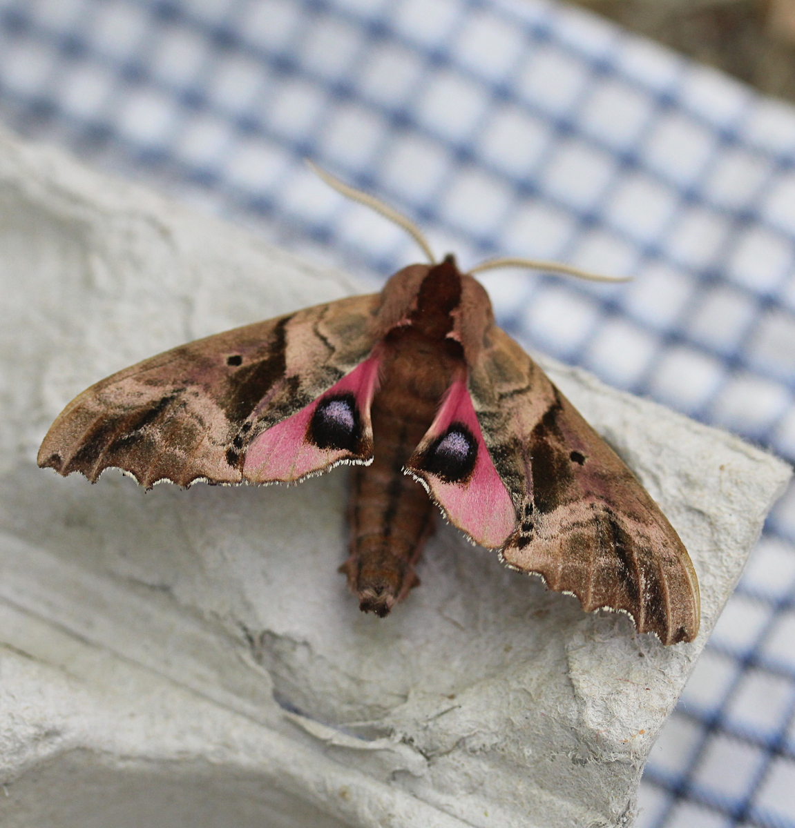 large moth showing underwing