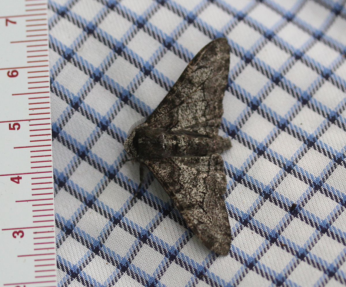 Peppered moth - with ruler on checkered fabric