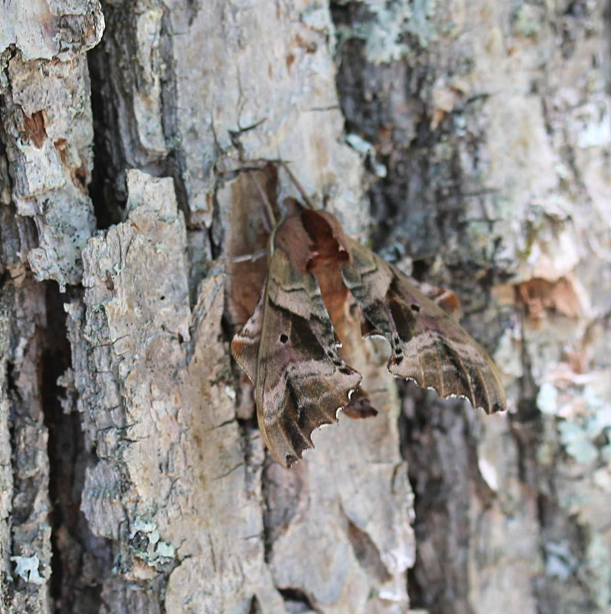 large moth camouflaged on tree bark