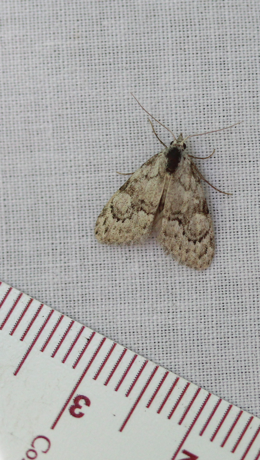 small pale moth on sheet