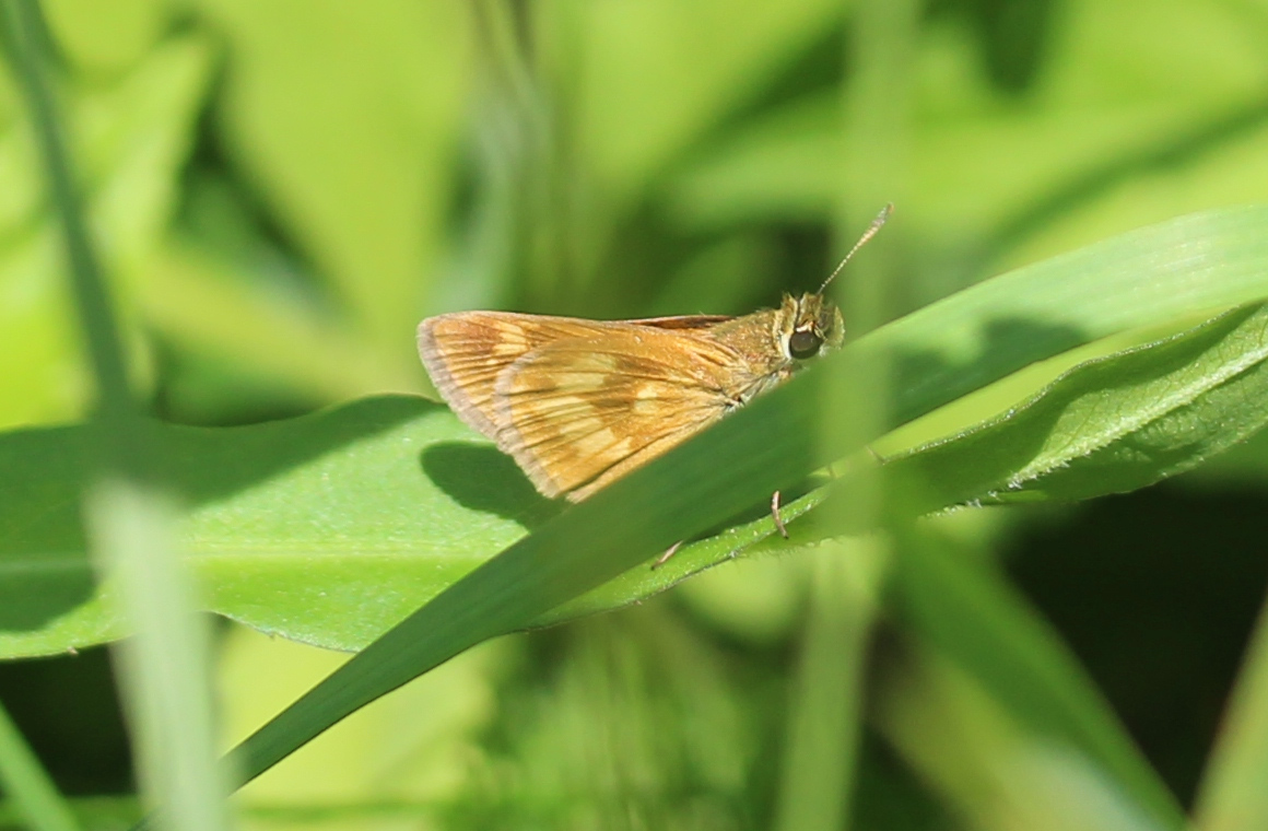 Hindwing/folded view of small yellow-brown butterfly, in vegetation.