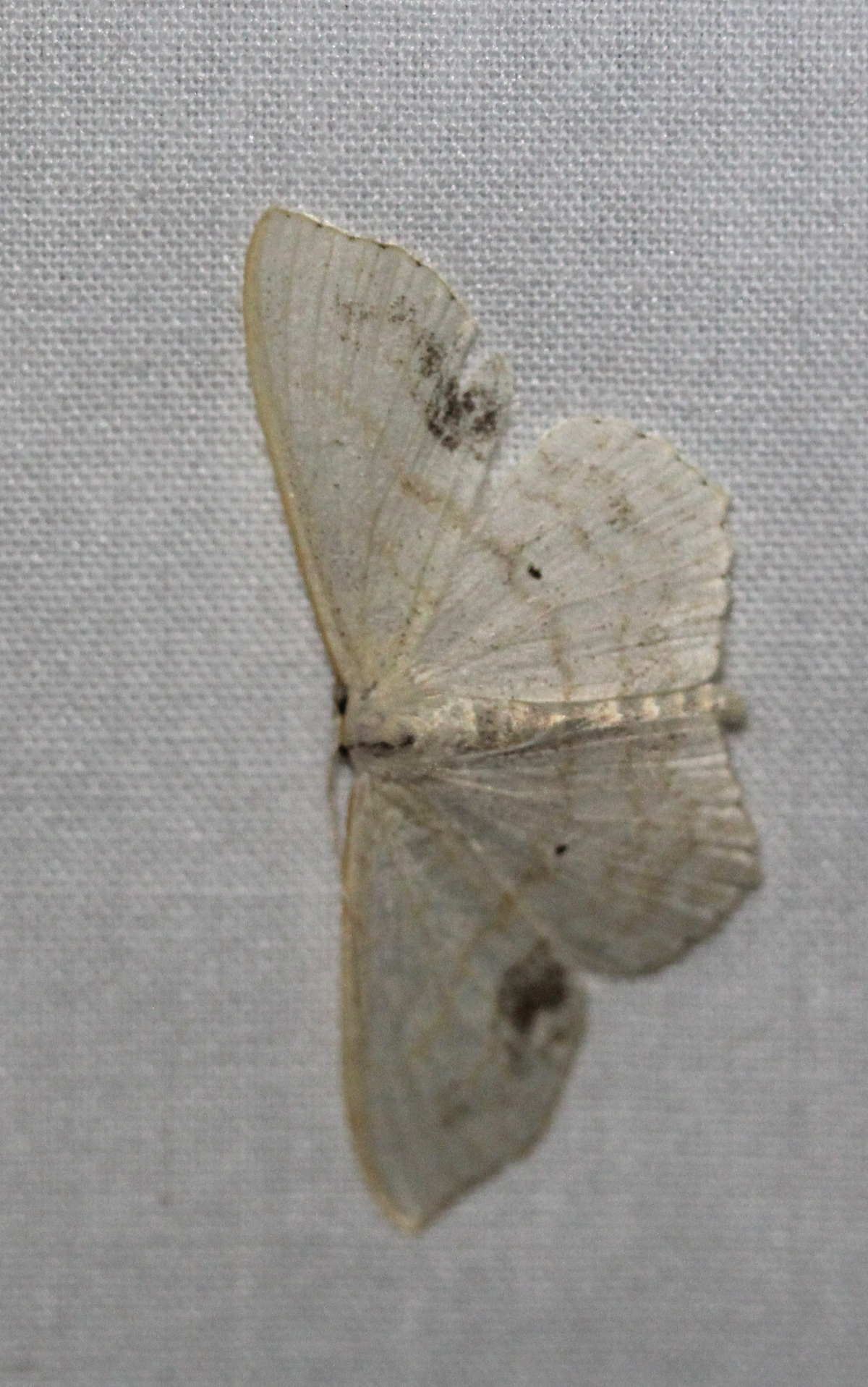 mostly white moth, wings spread, white sheet background