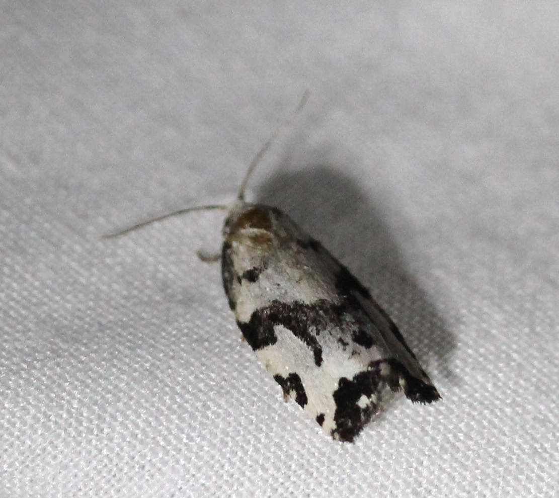 small black and white moth on white sheet