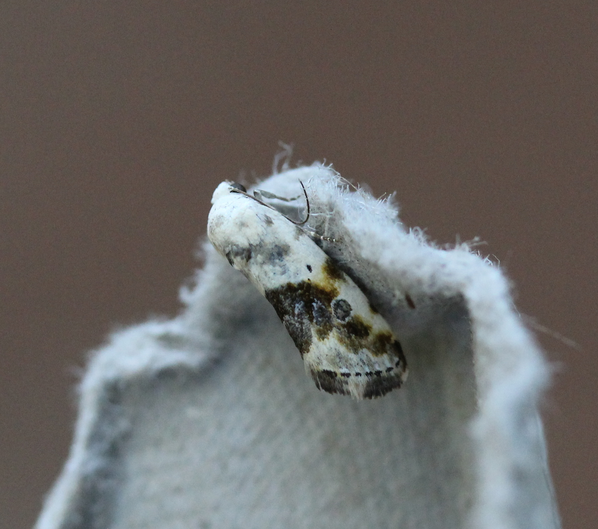 small moth, photographed on egg carton