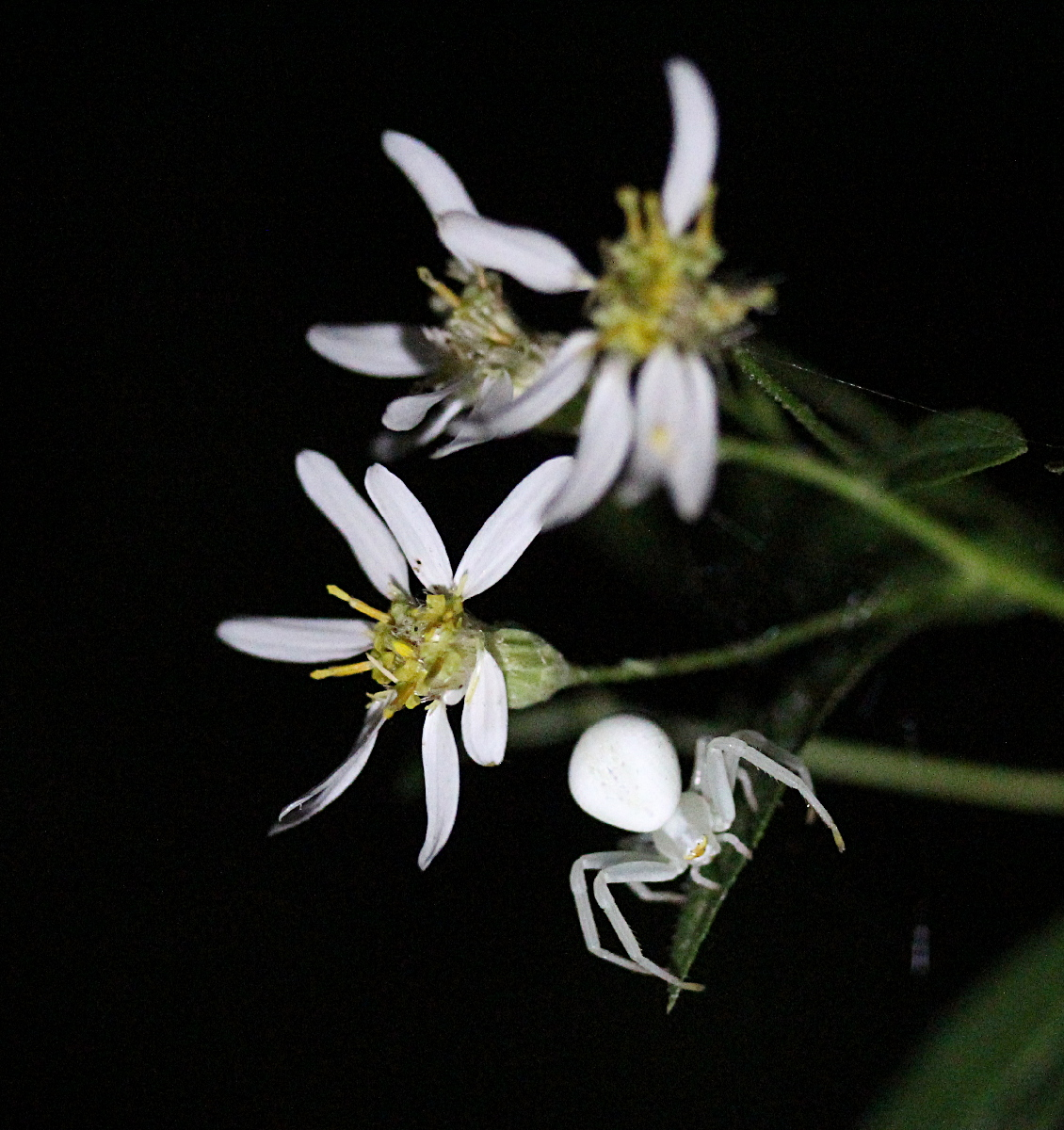 White spider on white aster flowers, black background