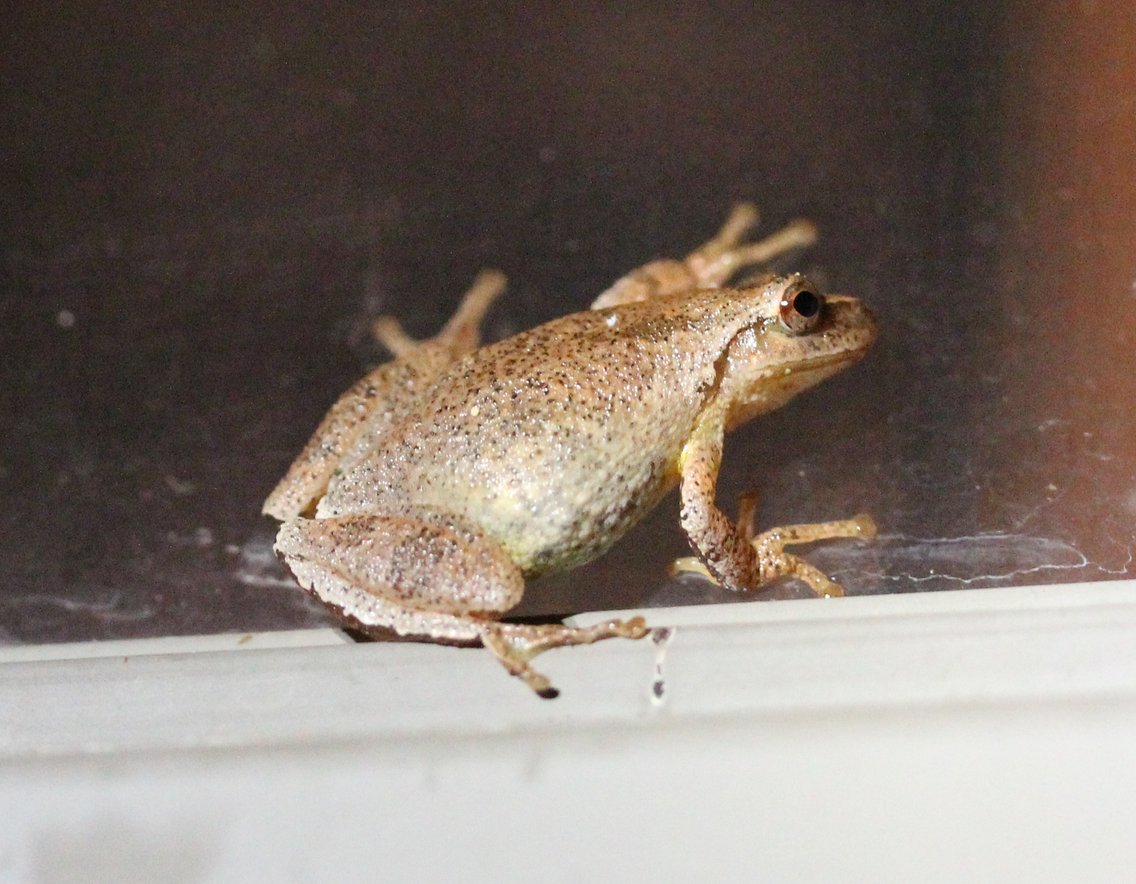 Brownish frog on window pane, lit by flashlight