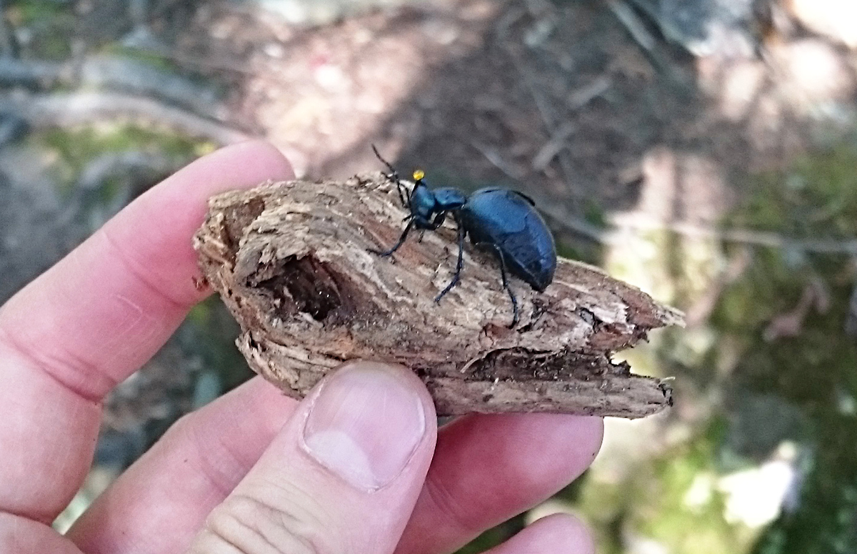 chunky blue-black beetle with hand for scale
