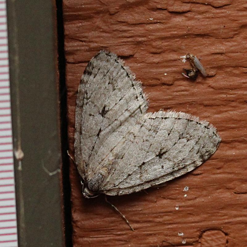Autumnal Moth (Epirrita autumnata)