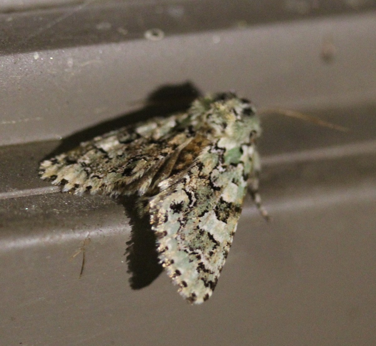Greenish/grey mottled moth on dark windowsill