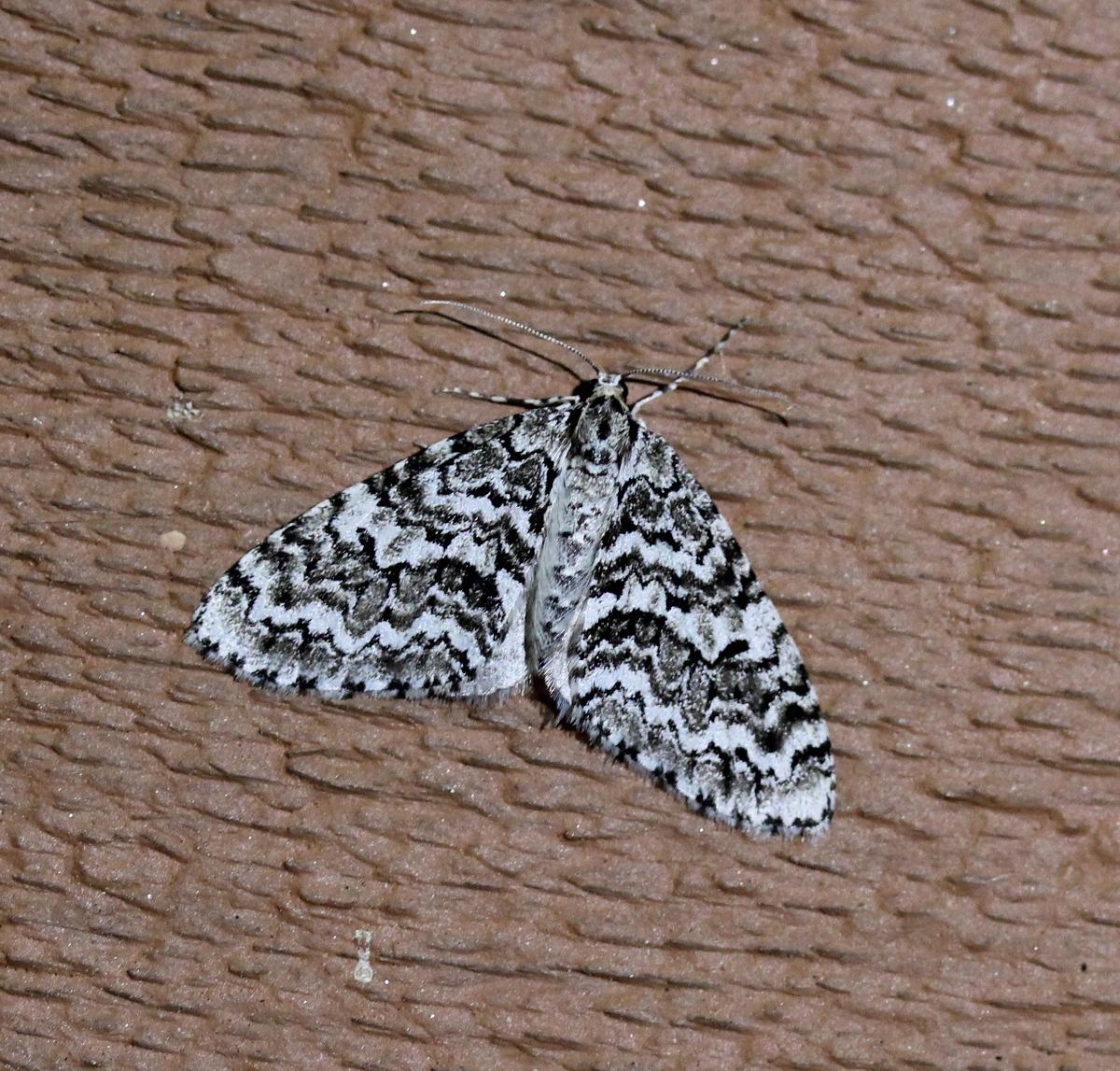 mottled black/white moth on painted siding
