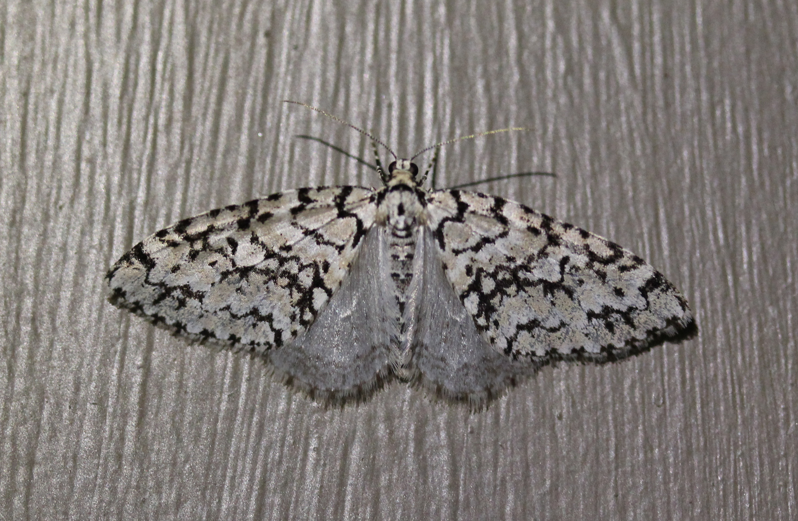 mottled black/white moth on painted door