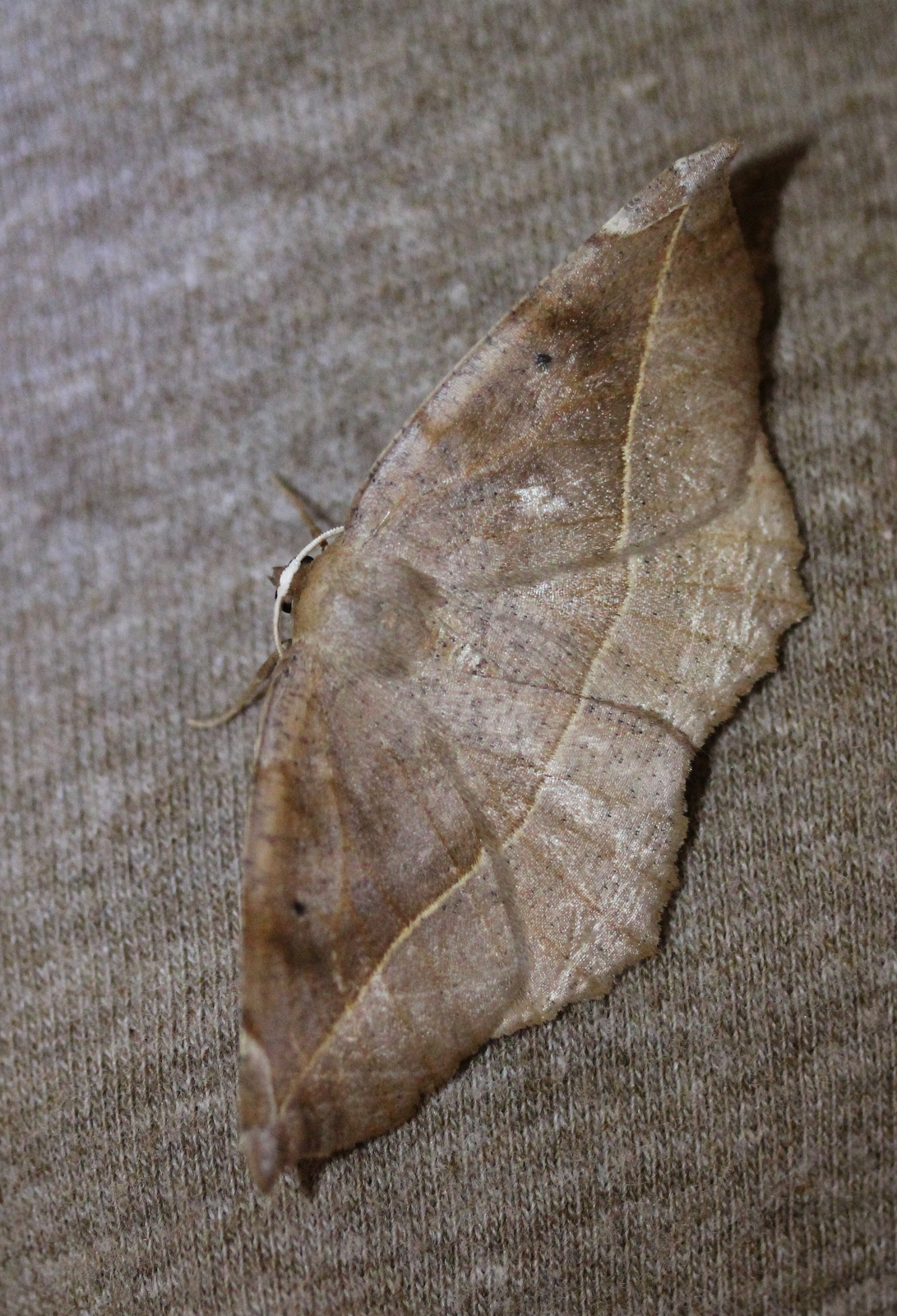 large brown moth on brown fabric