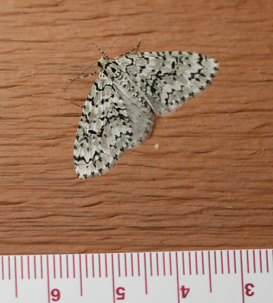 mottled black/white moth with ruler in cm for scale