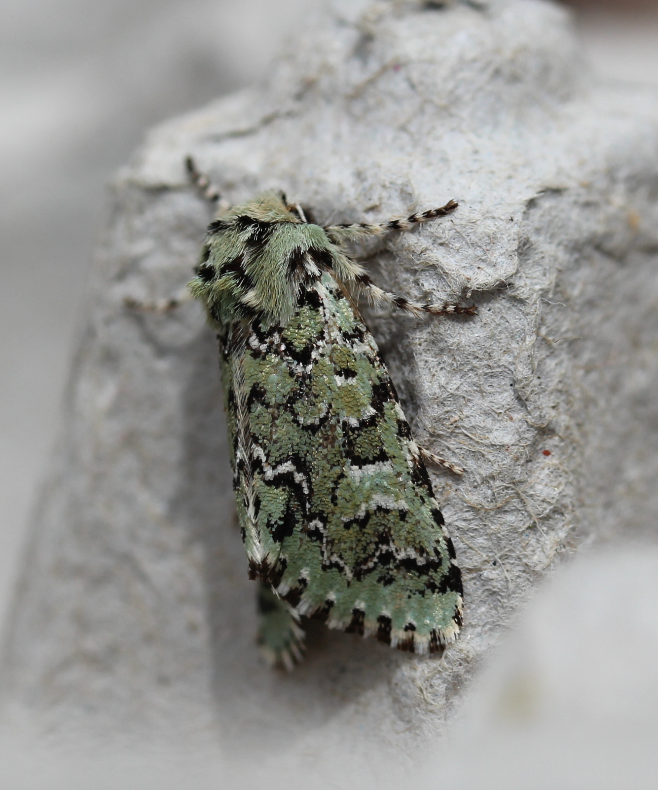 Greenish/grey mottled moth on egg carton