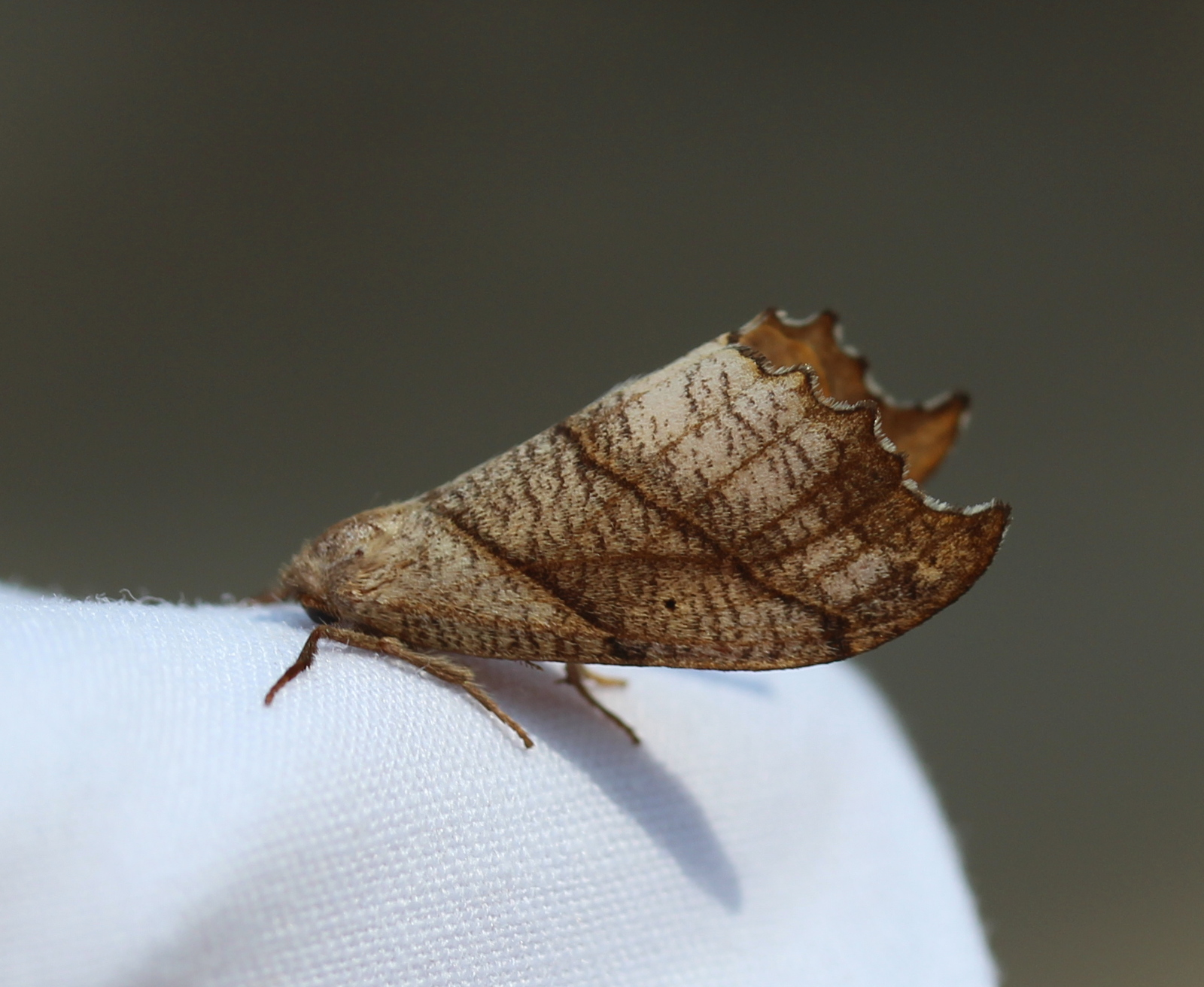 Brown moth, raised profile on white sheet.