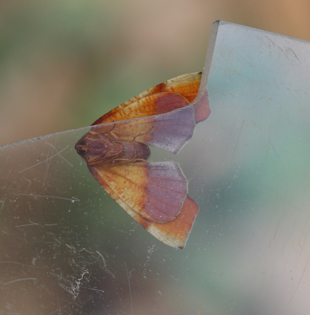Ventral view of same moth, showing similar colors