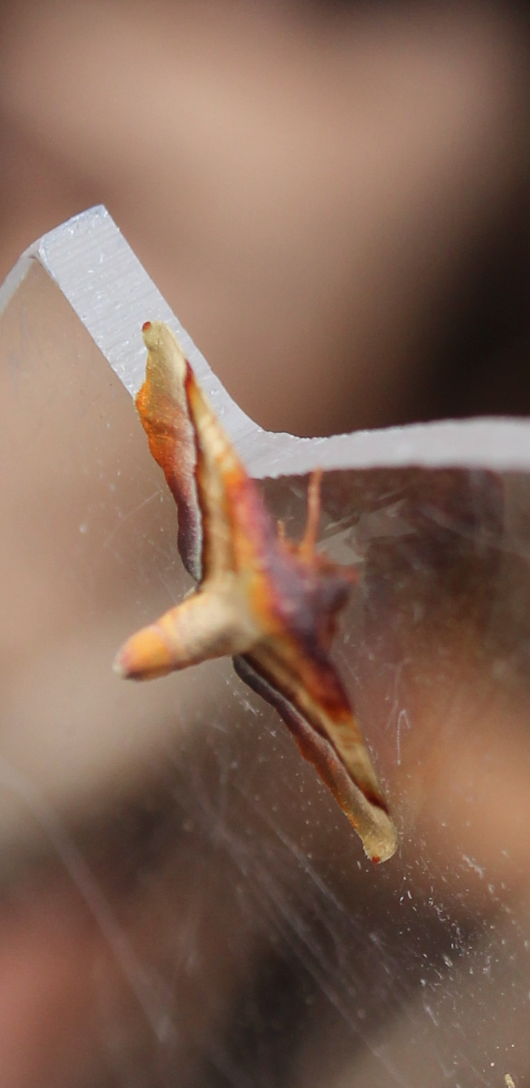 head-on view of moth showing raised abdomen