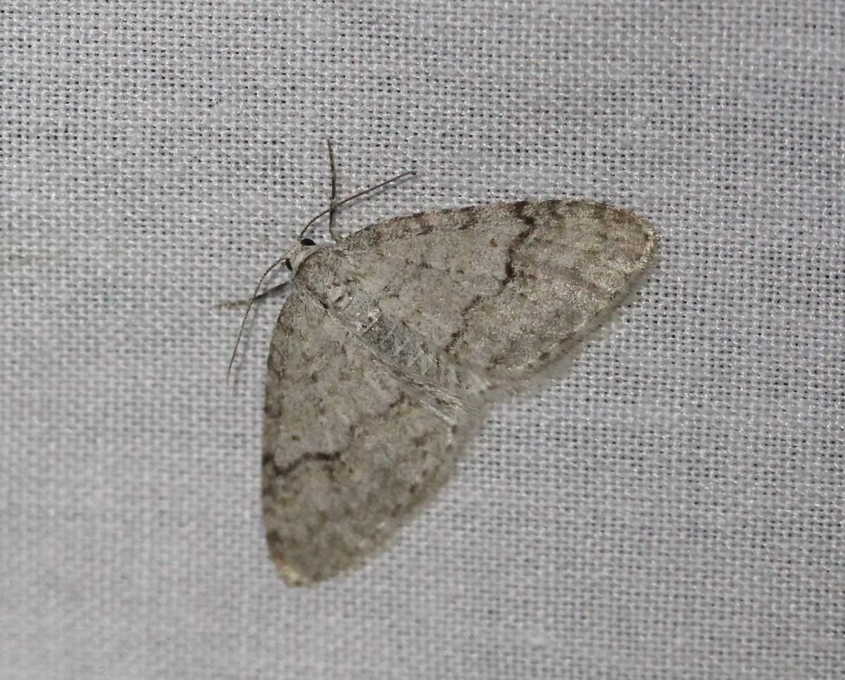 pale moth on white background