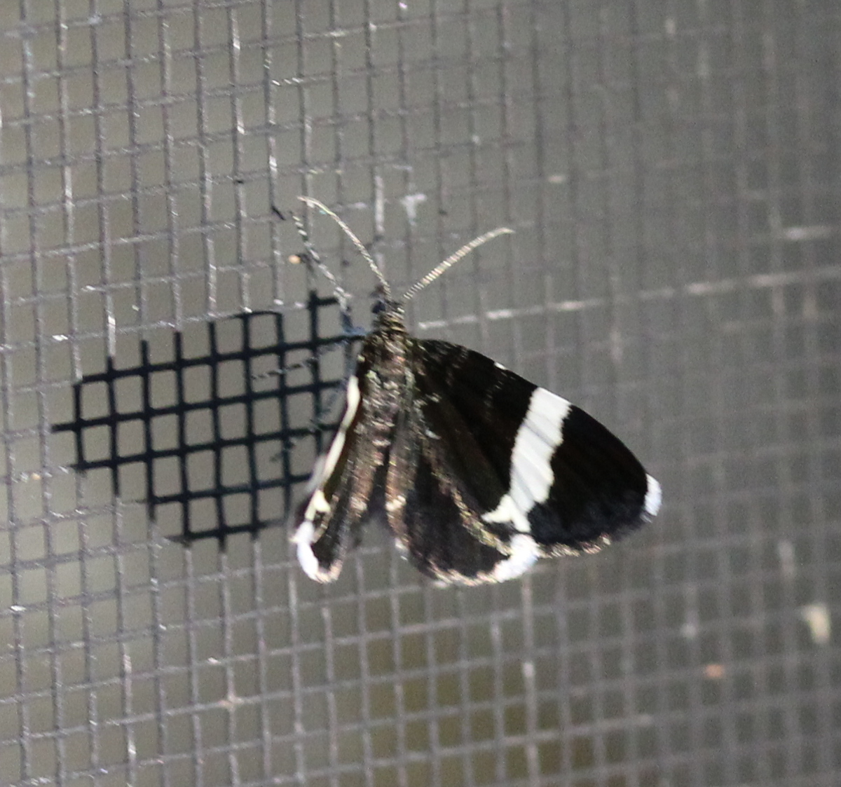 small black moth with white wing bars, on screen