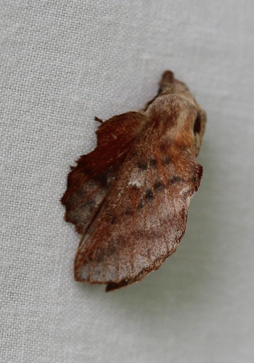 lumpy moth on white background