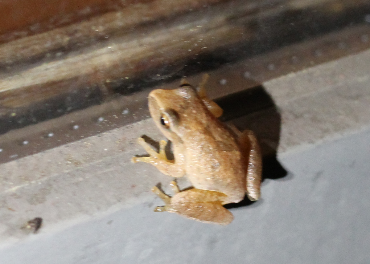 small yellow/brown frog on windowsill