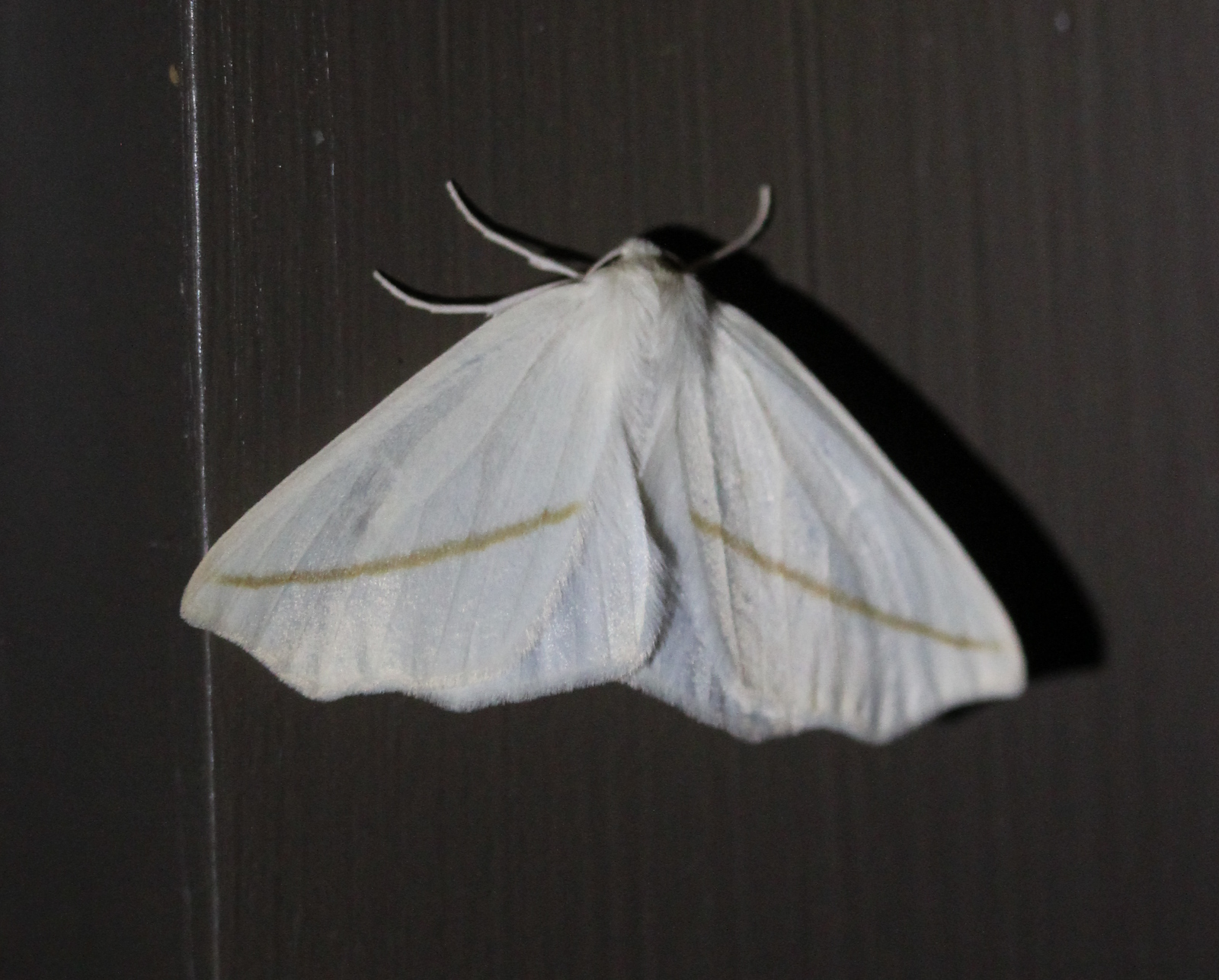 white moth on dark background, line on wings