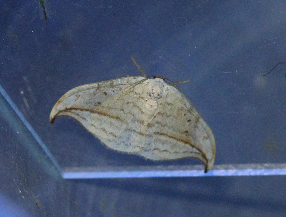 space-ship shaped moth on plexiglass
