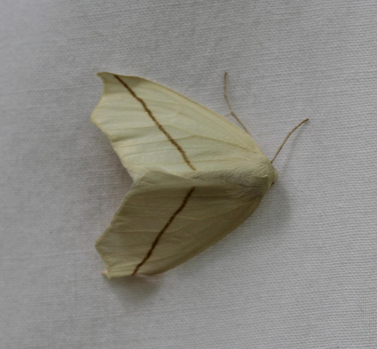 cream/yellow moth on white background