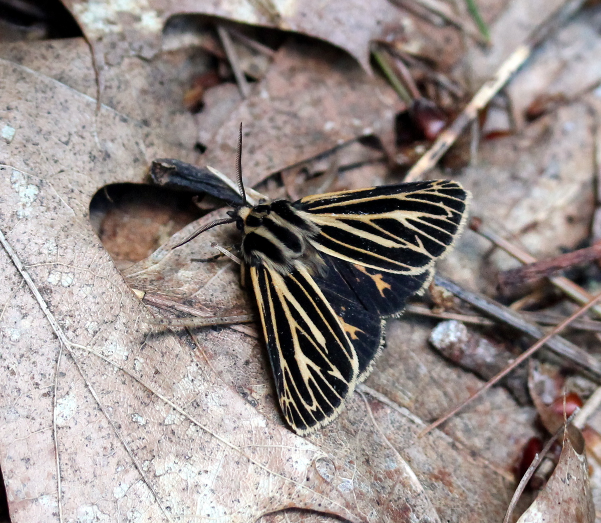 Dark moth with yellow stripes on leaf litter
