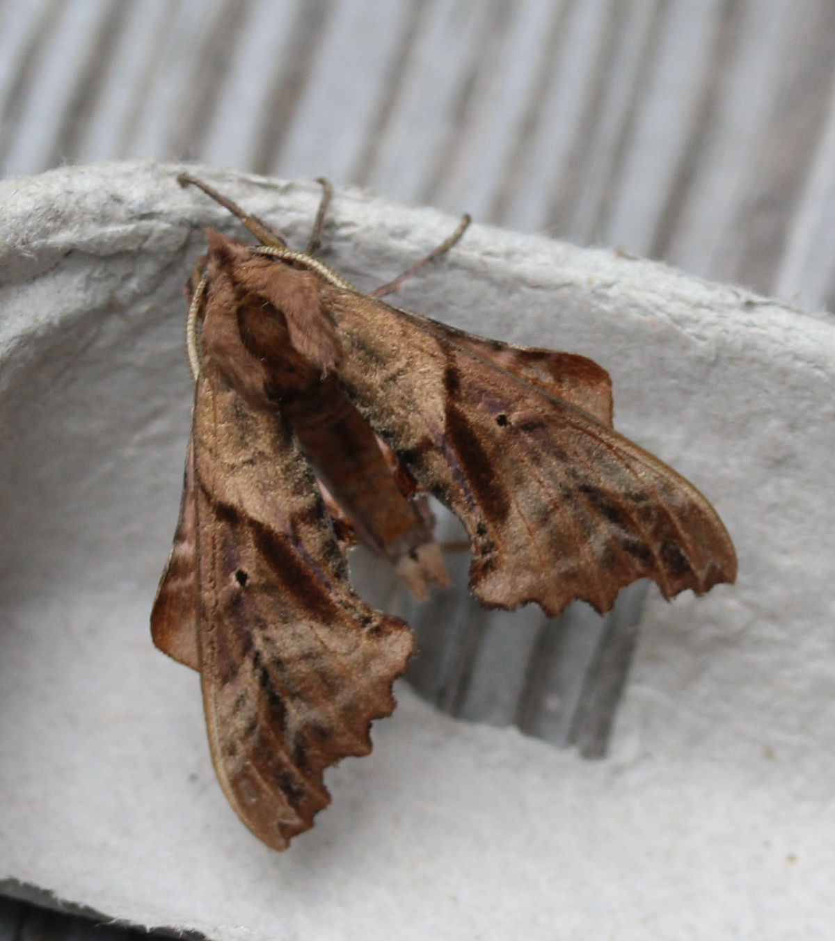 large brown moth on egg carton