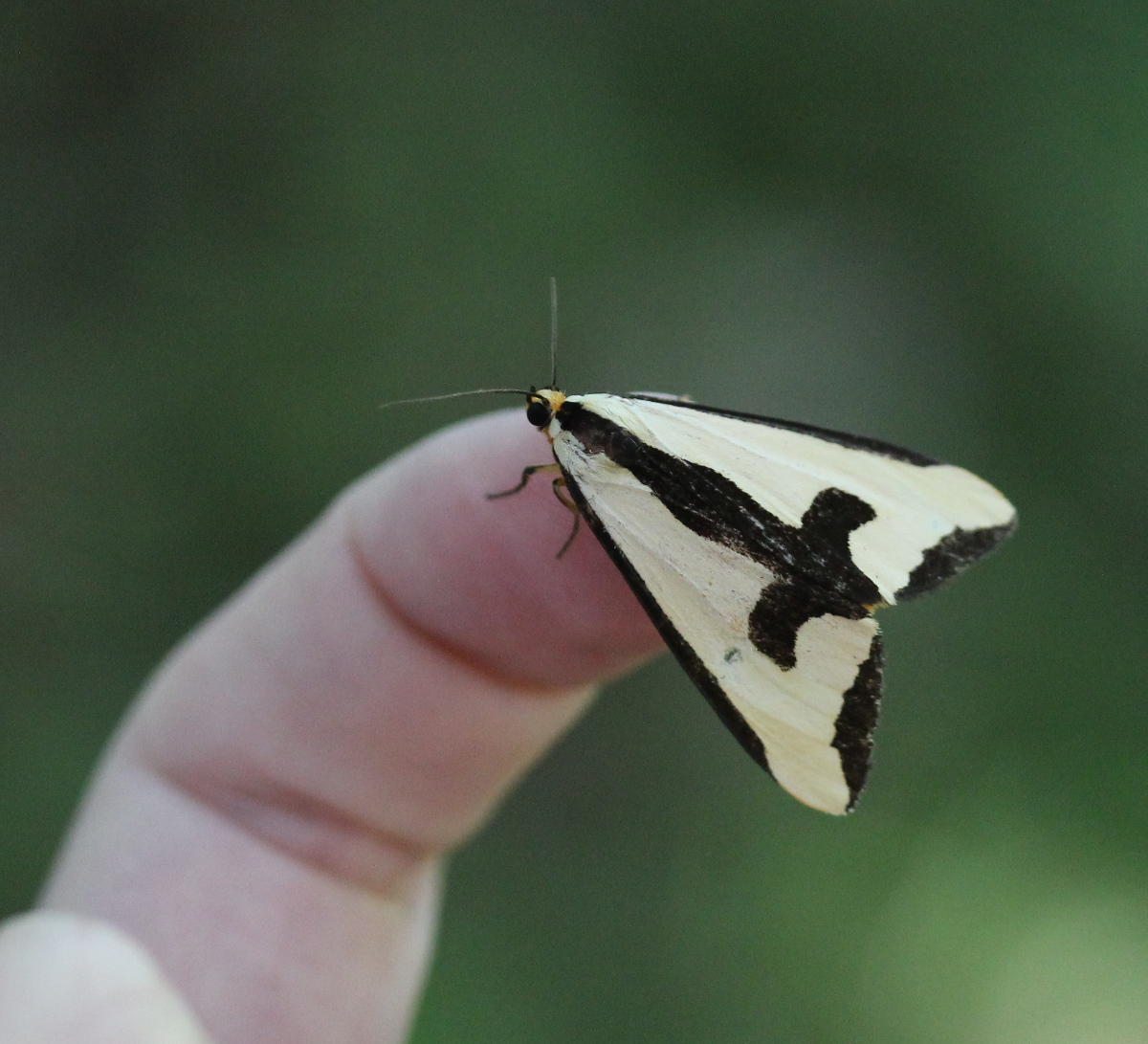 triangular yellow/black moth on fingertip
