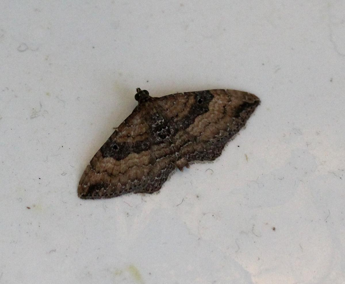 dark moth on porcelain