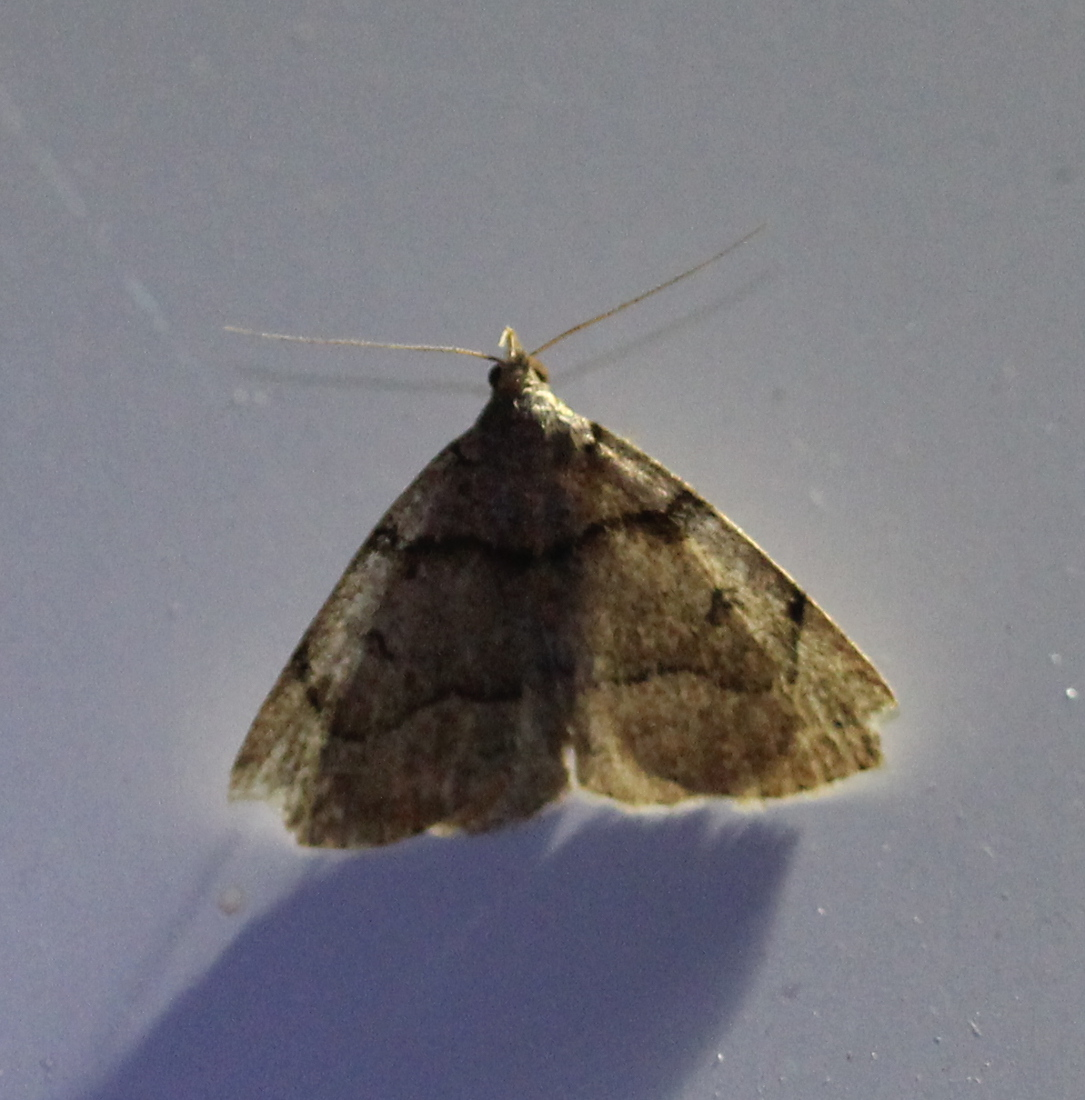 brownish moth