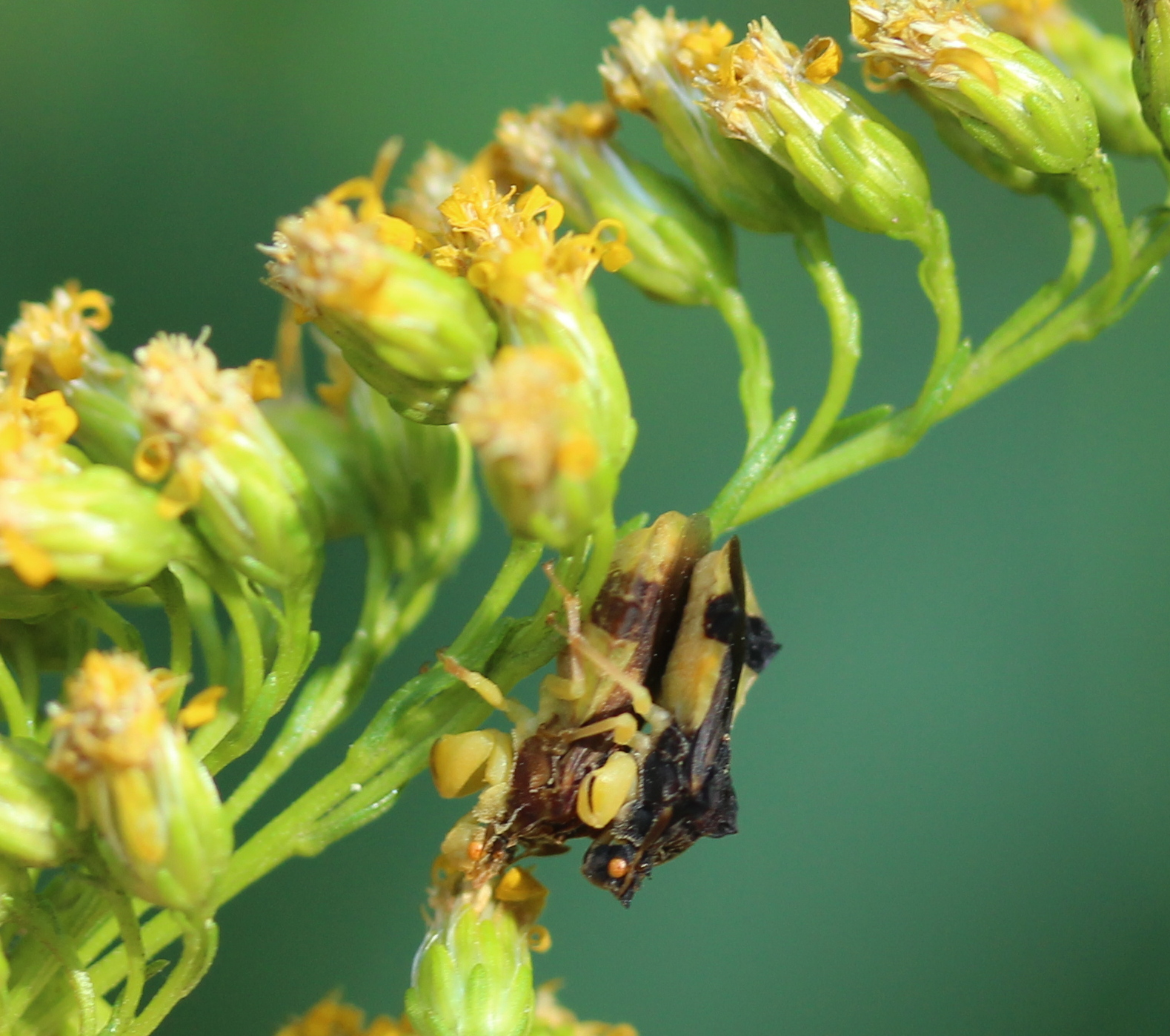 side view of yellow and black bugs on goldenrod