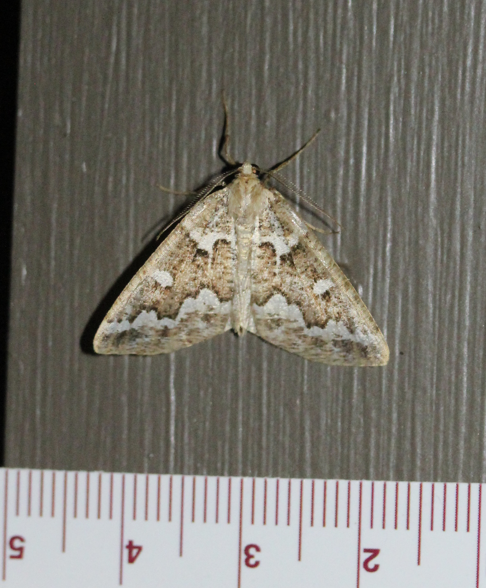 brown/white patterned moth on paintwork