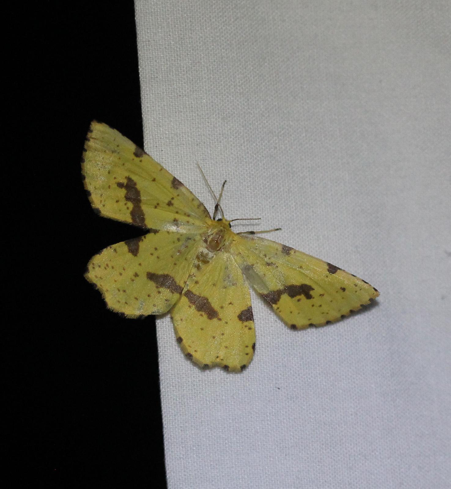 Large yellow moth on white sheet