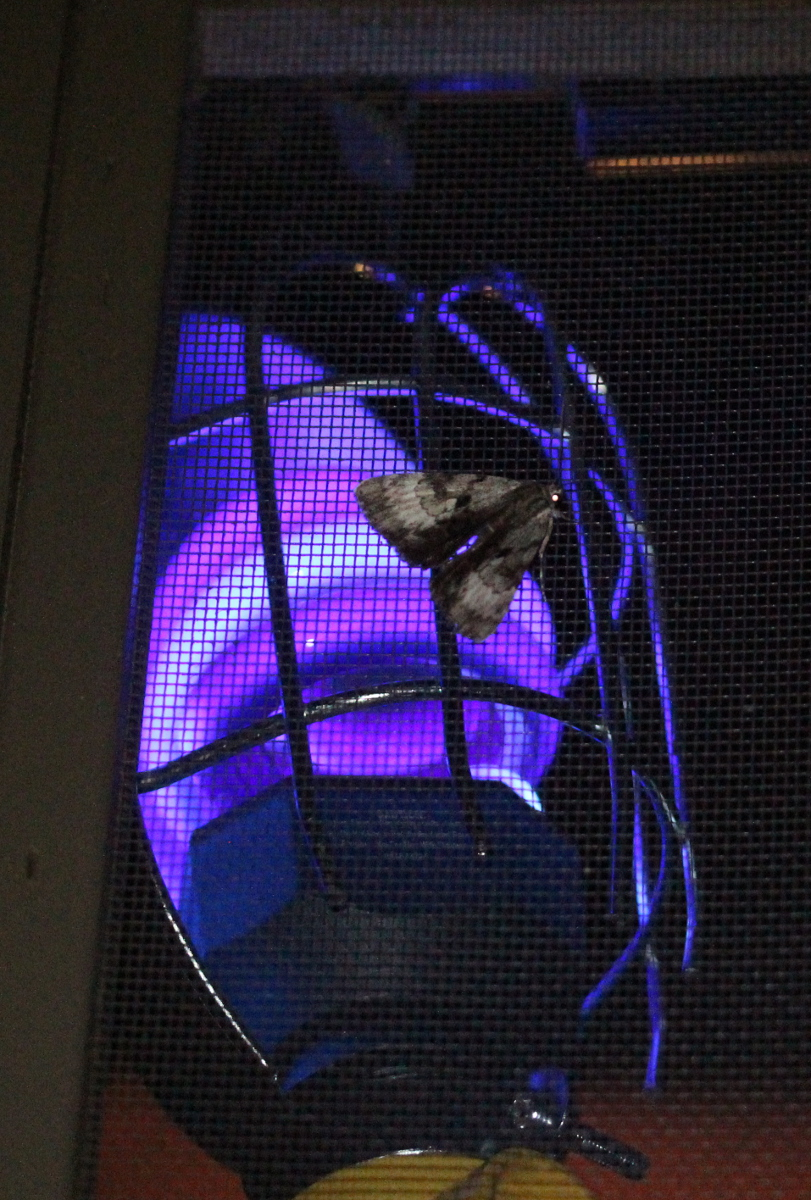 """blacklight"" bulb in trouble light holder; moth on top, on screen door"